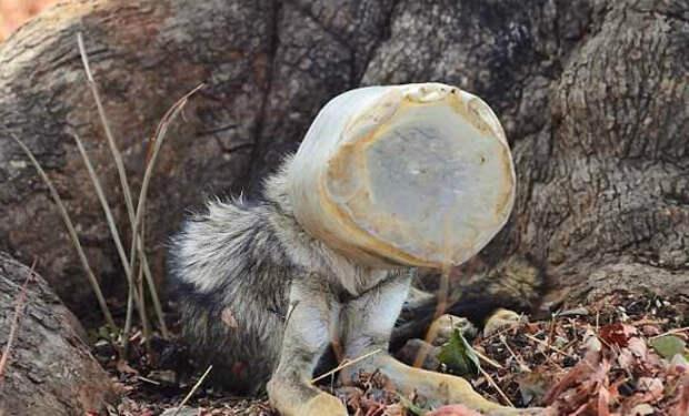 Худой волк с бутылкой на голове вышел из леса навстречу людям