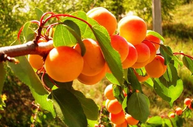 Как правильно обрезать абрикос и черешню?