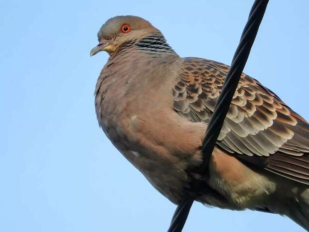 Большая горлица: Альтернативные голуби. Именно они были первыми почтальонами, а сейчас их встретить лишь в диких местах