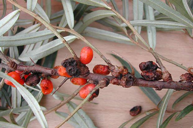 От малинного жука до облепиховой мухи. Как защитить ягодные растения
