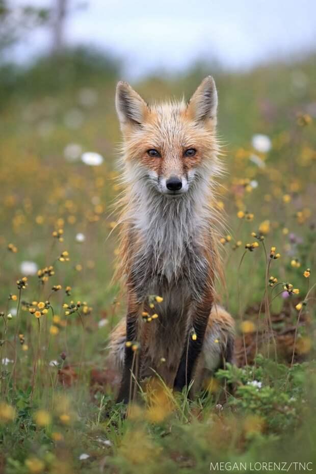 Красный лис, Ньюфаундленд. Фото: Меган Лоренц (Канада), приз зрительских симпатий в категории «Дикая природа».