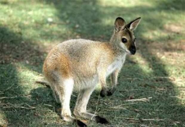 необычные домашние животные. Миниатюрные кенгуру