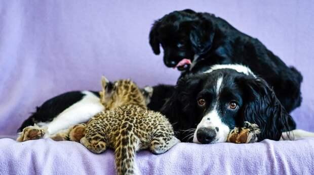 Как Спаниель воспитывает леопарда воспитание, зоопарк, котенок, леопард, спаниель