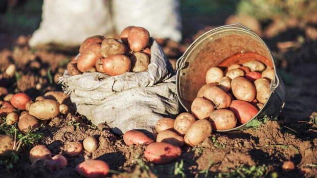 Подготовка почвы осенью: 5 лучших сидератов для хорошего урожая картофеля