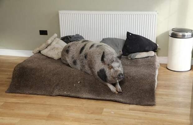 Милая история о том, как мини-пиг стал огромной свиньей