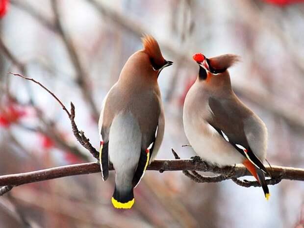 Свиристели очень прожорливые птицы, постоянно находятся в состоянии непрерывного поглощения ягод.