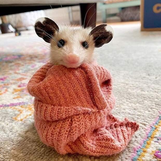 Опоссумы — недооцененные и очаровательные животные