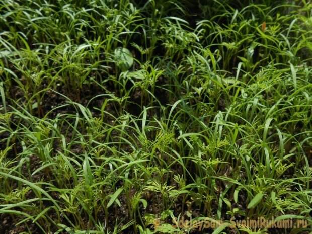 Как выващивать сочную и ароматную зелень прямо на подоконнике? Показывает Парвина Герц.