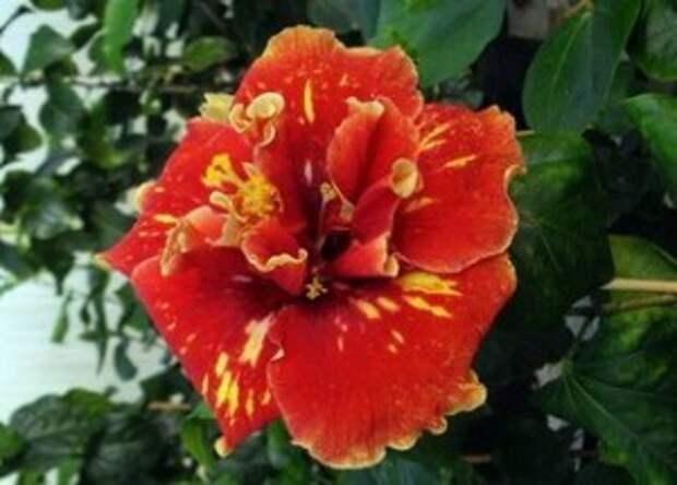 гибискус цветок смерти