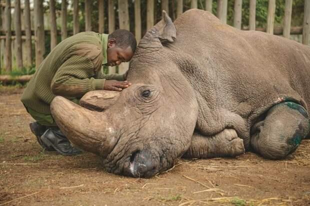 История последнего в мире самца белого носорога Судана