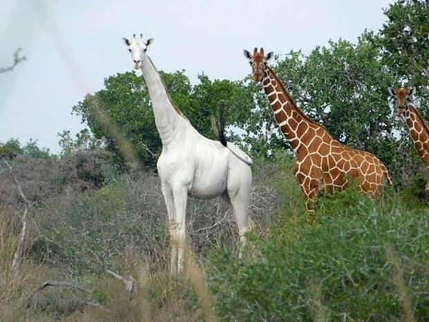В мире остался только один белый жираф. Вот как он выглядит