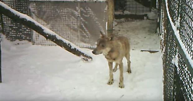 Они увидели волка в ледяной воде и поняли, что что-то не так...