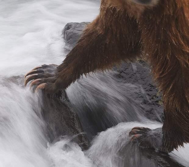 Когти буруго медведя