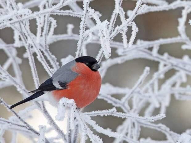 Благодаря своей характерной окраске эта птица легко узнаваема.