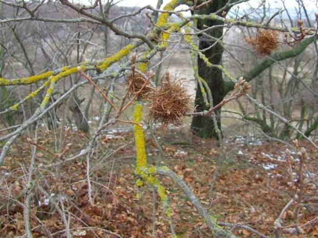 """""""Ведьмина метла"""" на деревьях – лечить или выкапывать?"""