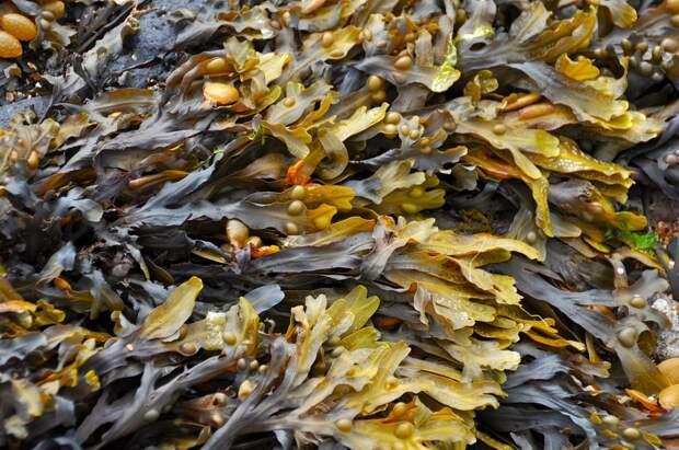 Из водорослей Баренцева моря создадут препараты от многих болезней