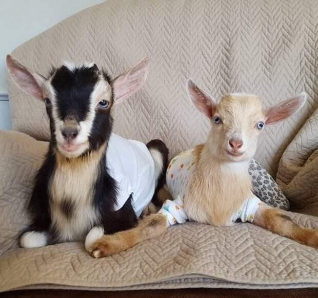 Женщина променяла работу в городе на заботу о козах, требующих специального ухода (11 фото)