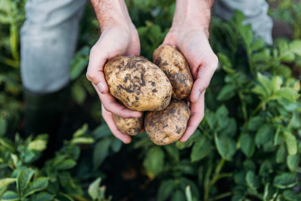 Вот какие сорта картофеля считаются самыми вкусными