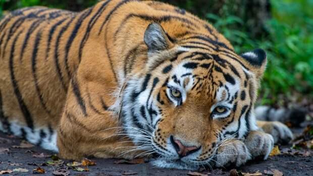 Тигрицу Санду после реабилитации выпустят в лес Амурской области