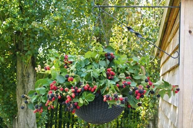 Картинки по запросу black bare fruit