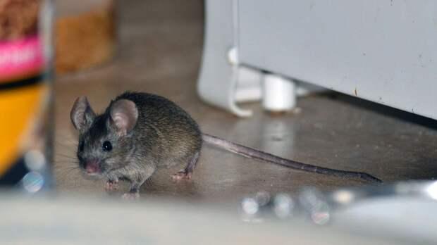 На даче завелась мышь