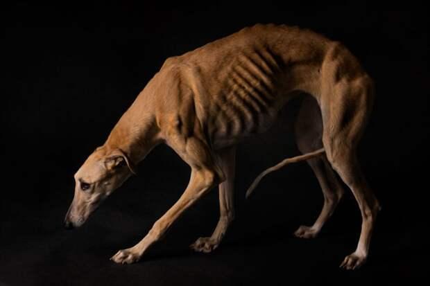 4. Порода, борзая, гальго, животные, испания, собака, спасение, фотография