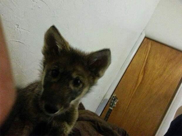 Но вскоре после того, как он взял щенка по кличке Неон домой, мужчина начал подозревать неладное. америка, волк, животное, собака, щенок