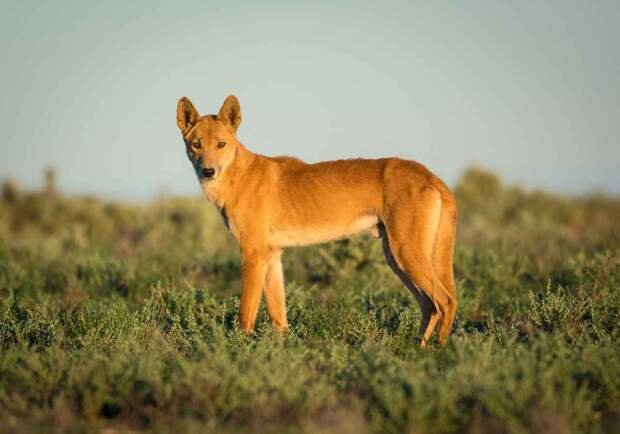 Динго – собака Австралии, которая одичала.