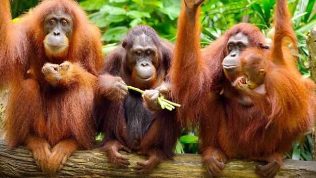 Орангутан. Самые близкие к человеку по ДНК обезьяны на грани вымирания