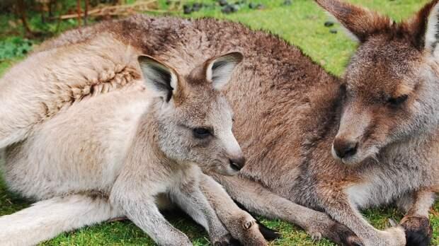 В зоопарке Белгорода на свет появились сразу три детеныша кенгуру
