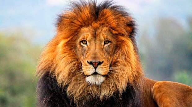 Почему лев – царь зверей?