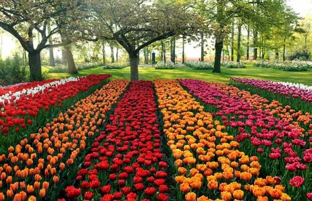 Тюльпаны в саду фото