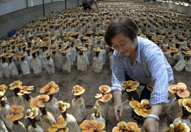 Китайские грибы: подделка уже на рынках