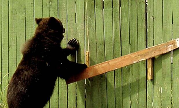 Лесник услышал рык за окном: у ворот стоял медведь и просил помочь