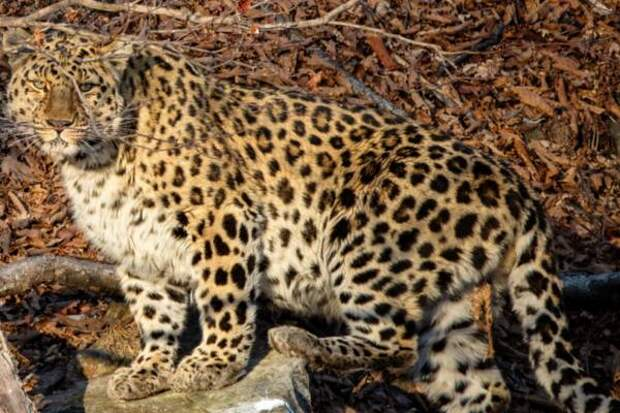 Фотограф запечатлел дальневосточного леопарда при свете дня