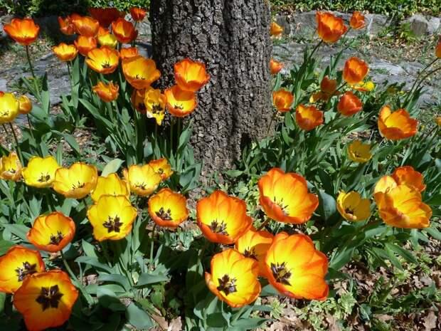 Высаживаем тюльпаны: не как попало, а красиво!