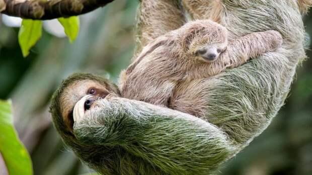 Детеныши ленивцев могут не отрываясь сосать материнское молоко, потому что мать производит его в очень малых количествах