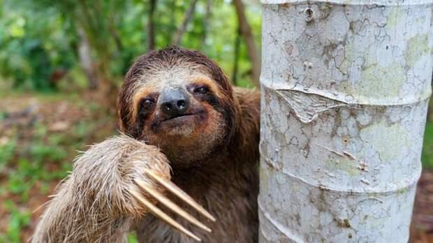 Ленивцы проводят большую часть жизни на деревьях, подальше от хищников тропического леса