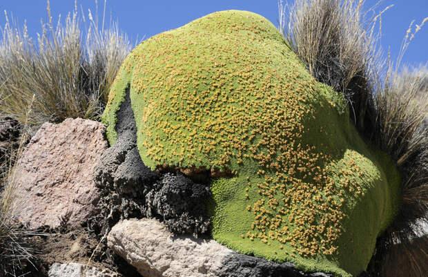 Ярета — растение «камень» из Южной Америки