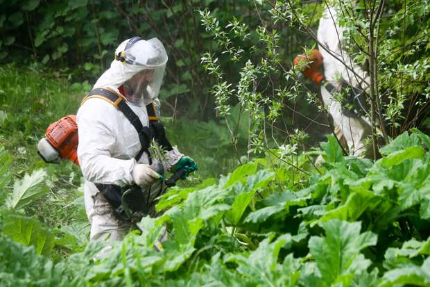 Россиян предупредили о вызывающем химические ожоги растении