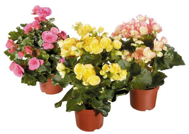 Комнатные цветы-талисманы знаков зодиака