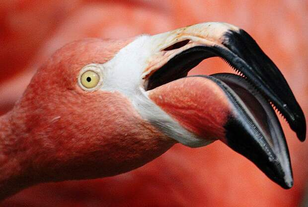 клюв фламинго