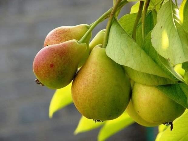 Как правильно вырастить грушевое дерево