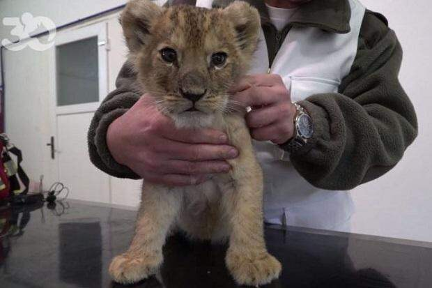 В Париже из дорогого Lamborghini спасли львенка по имени Путин