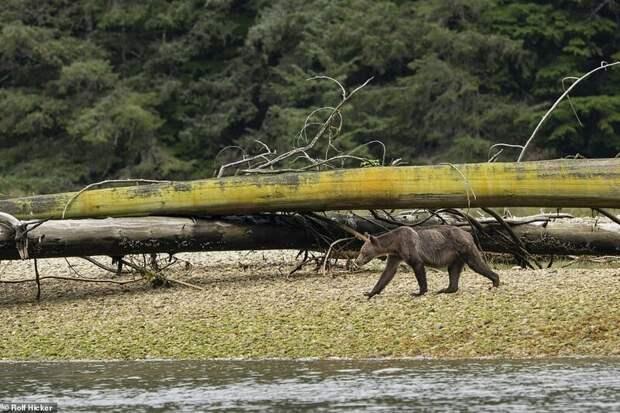 Печальное зрелище: тощие медведи гризли в Канаде бродят в поисках еды
