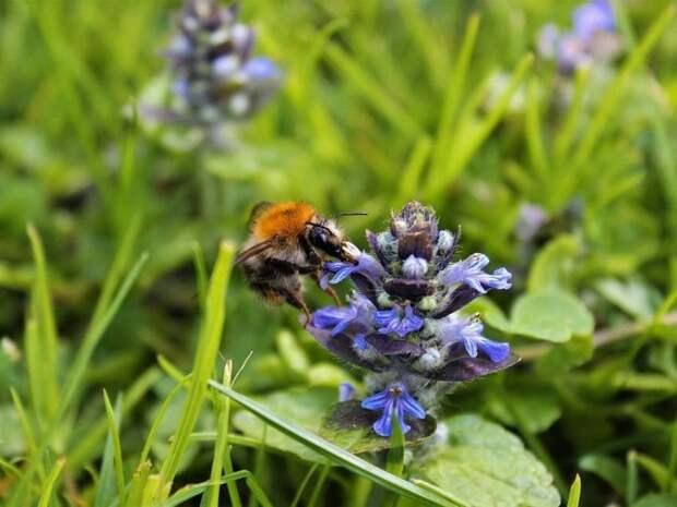 Англичан призвали реже стричь газоны, чтобы сохранить насекомых-опылителей