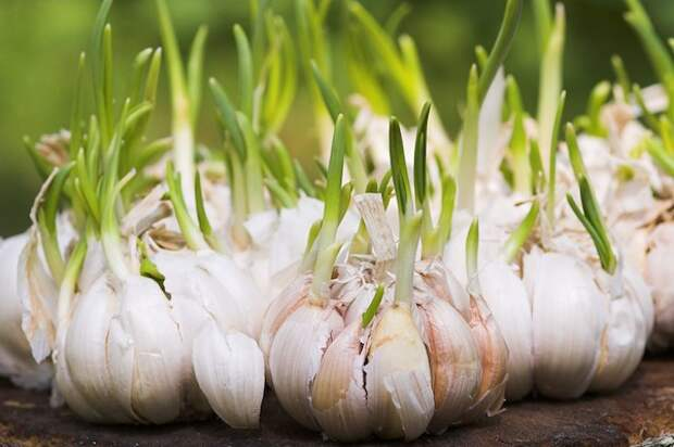 Вот как повысить урожай чеснока в 20 раз!