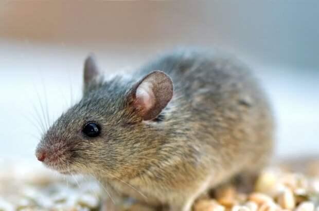 Андрей Туманов: спасти урожай от мышей