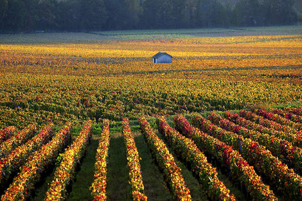 Виноградники Бургундии осенью, Франция