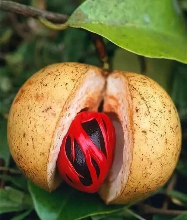 Плод мускатного ореха